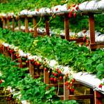 Fermierii britanici avertizează că pierderea muncitorilor din UE va creşte preţurile căpşunelor