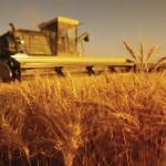 Recolta de grâu din UE redusă de secetă și arșiță