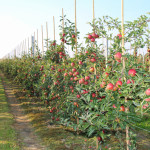 Sprijin pentru producătorii europeni de fructe