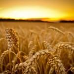 Incertitudine pe piața grâului