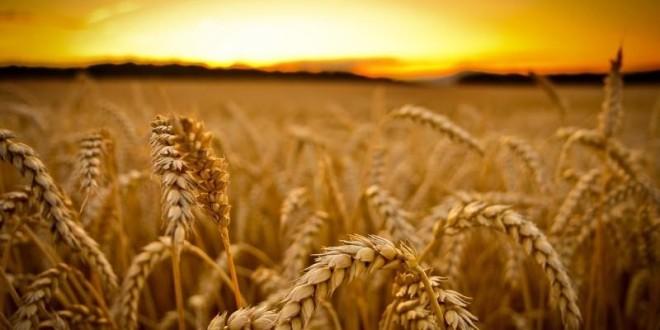 Сейчас есть все предпосылки для роста мировых цен на пшеницу