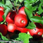 UE se va ciocni cu un deficit de mere