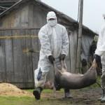 Alertă de grad zero: pesta porcină africană în România