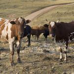 Moldova își consolidează sectorul creșterii vacilor de lapte cu suportul FAO