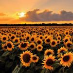 În Ucraina se diminuează recolta de floarea soarelui, dar crește cea de rapiță