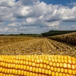 Producția mondială de cereale este în creștere