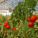 Italia este liderul european al producţiei de legume