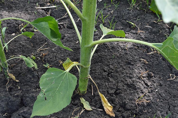 Produsul Arhitect® permite de a mări perioada de vegetație a culturii și de a menține procesele metabolice chiar și în condiții climatice mai puțin favorabile pentru plantă.