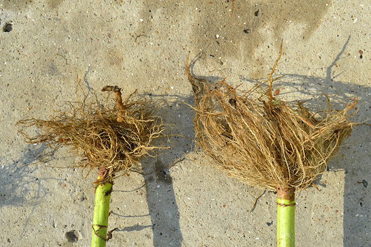Sistemul radicular cu mult mai dezvoltat contribuie la mărirea rezistenței plantelor la secetă și polignire. De asemenea contribuie la o asimilare mai bună a substanțelor nutritive din sol.