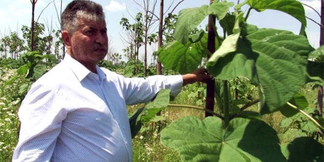 Un primar din România acuză o ţeapă masivă cu plantaţiile de arbori Paulownia