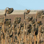 Turcia va majora importul de seminţe de floarea-soarelui, inclusiv din Moldova