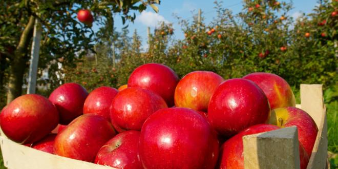 Republica Moldova – cel mai mare exportator de mere în Federaţia Rusă