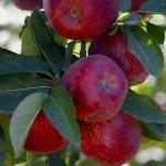Republica Moldova – cel mare exportator de mere în Rusia în luna octombrie