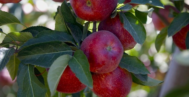 Republica Moldova – cel mare exportator de mere în Rusia în luna ianuarie