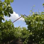 Granturi pentru practici intensive de producere a strugurilor de masă, cum ar fi sistemele de producere Tendone / Pergola și Gable