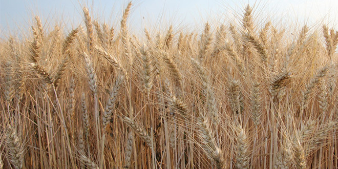 Care va fi prețul grâului în 2019?