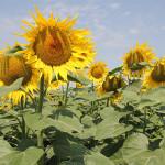 România pe primul loc în UE după producția de porumb și floarea soarelui