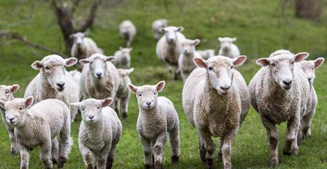 România – cel mai mare exportator de ovine!