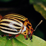 Alverde – cea mai inovatoare soluție contra gândacului din Colorado