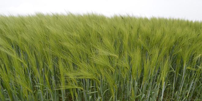 Adexar® SE Plus – Инновационное решение по контролю болезней в посевах зерновых культур и реализации потенциала их продуктивности
