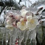 Livezile de piersic și cais din Ucraina au fost puternic afectate de înghețuri. Se așteaptă prețuri mai mari la fructe