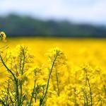 În Ucraina se va recolta o cantitate record de rapiță