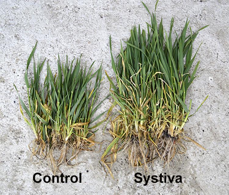 Orz de toamnă tratat cu Systiva (1,2 l/t) + Insur Perform (0,5 l/t) (dreapta) şi orz de toamnă netrat (stînga)
