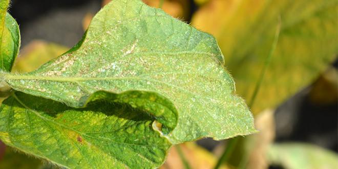 Avertizare fitosanitară de acarieni la soia – 5 august