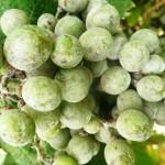 Avertizare fitosanitară de boli la vița de vie