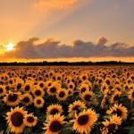 Recoltă record de seminţe de floarea soarelui