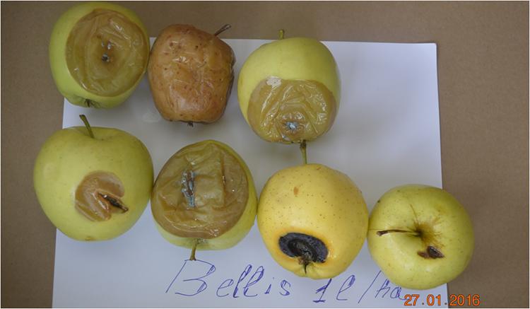 mere-bellis