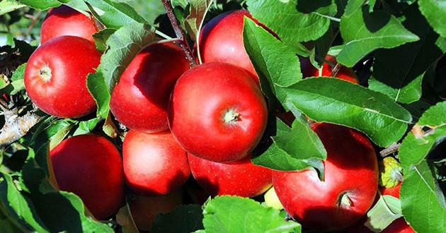 Recolta de mere în Uniunea Europeană, cu 20 la sută mai mică în 2019