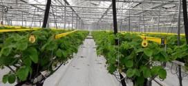 Lecții învățate din experiența producătorilor de căpșun din Olanda