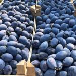 Peste 600 de tone de prune moldovenești au ajuns în magazinele din Germania