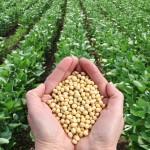 Tensiunile comerciale dintre China şi SUA şi pesta porcină africană duc la scăderea preţurilor la soia