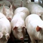 Importuri record de carne de porc în China