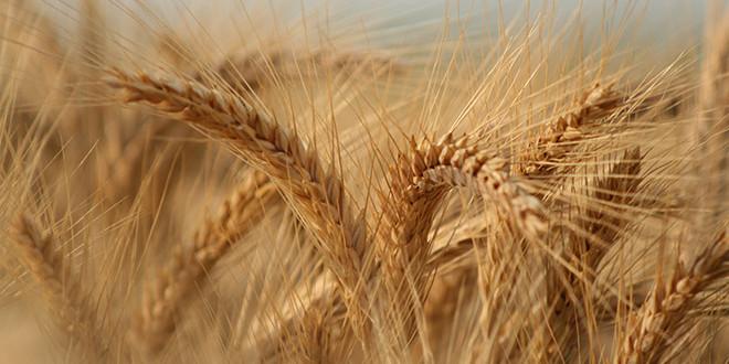 Fertilizarea cu Sulf a cerealelor