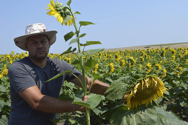 Se obține micșorarea distanței dintre pețioli, concomitent cu micșorarea înălțimii tulpinii ce duce la creșterea rezistenței la polignire a plantelor.