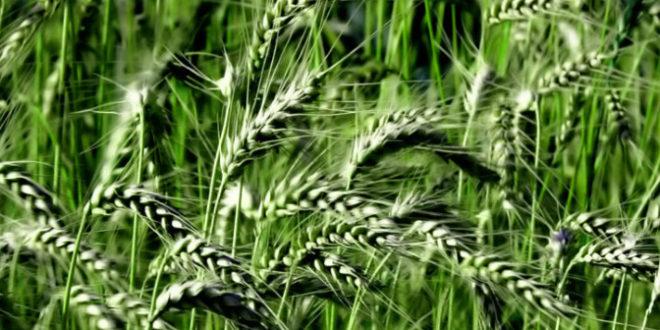 Регуляторы роста c ретардантным действием – неотъемлемый элемент интенсивной технологии выращивания зерновых культур