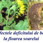 Fertilizarea foliară cu bor la floarea soarelui