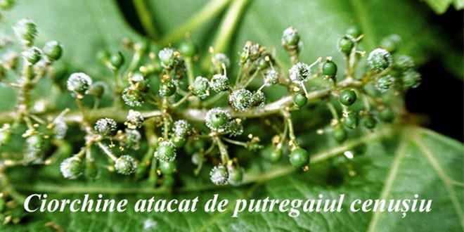 Avertizare fitosanitară de boli la vița de vie – 22 iunie: putregaiul cenușiu