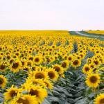 Fermierii români ar putea pierde un milion de ha de porumb și floarea soarelui