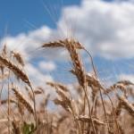 Ministerul Agriculturii prognozează o recoltă de 600 mii tone de grâu