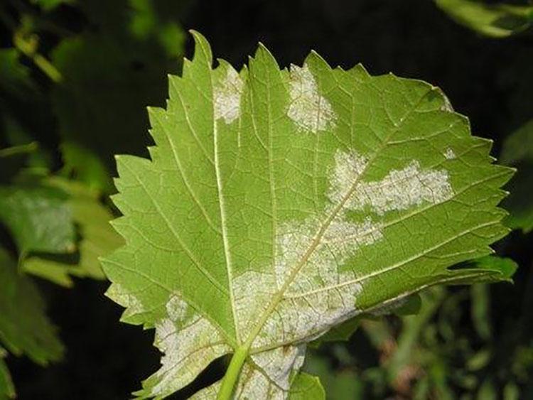 Atac de mană pe frunze