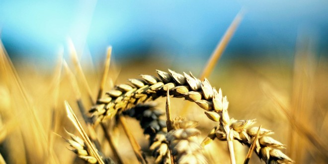 Mai bine de jumătate din culturile de toamnă au fost afectate de secetă