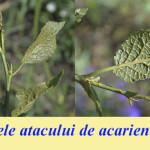 Avertizare fitosanitară de acarieni la prun – 15 iunie 2020