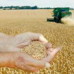 Se așteptă revenirea prețurilor pe piața grâului