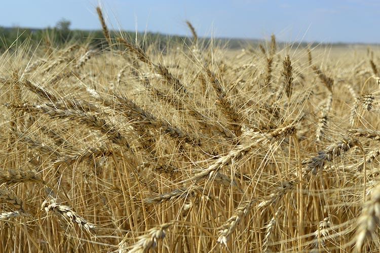 """Grâu de toamnă, tratat în faza T2 cu fungicidul """"Priaxor"""" (BASF) cu norma de consum 1,1 l/ha, în combinație cu regulatorul de creștere """"Medax Top"""" (BASF) cu norma de consum 1,1 l/ha. Recoltă - 60,38 q/ha."""