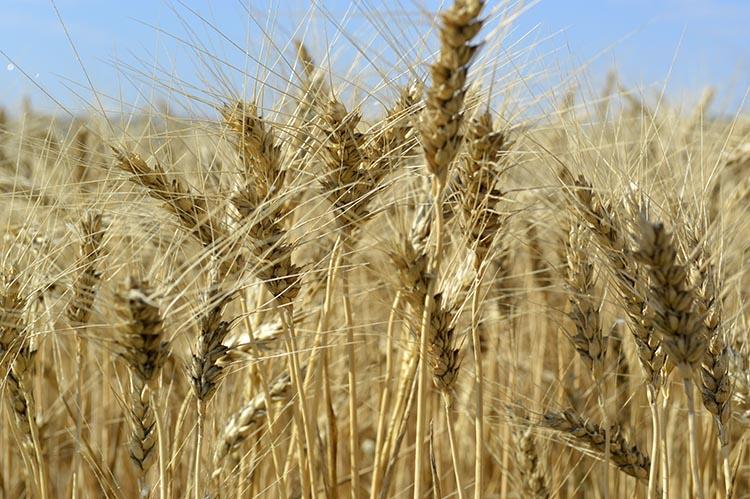 """Grâu de toamnă, tratat în faza T2 cu fungicidul """"Priaxor"""" (BASF) cu doza 1,1 l/ha. Recolta - 58,7 q/ha."""