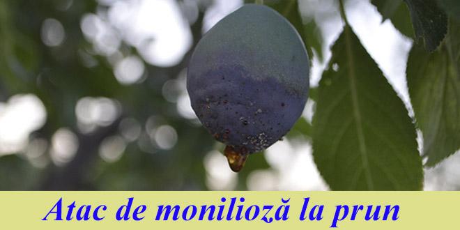 Avertizare fitosanitară de boli la prun – 1 iulie 2020: atac de monilioză